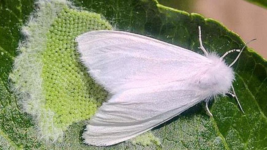 На Наровлянщине появилась американская белая бабочка