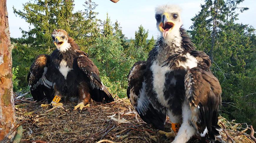 В Беларуси впервые за 9 лет нашли гнездо с птенцами беркута