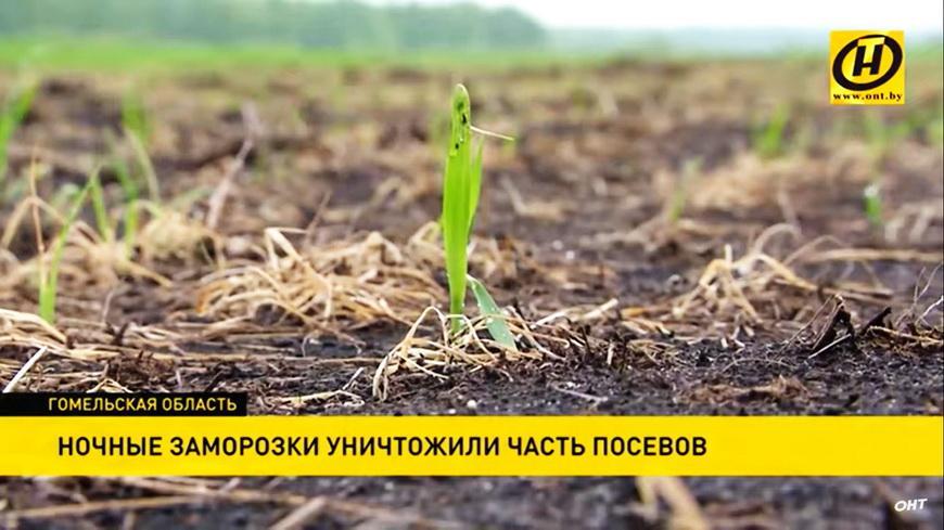 Видео. Ночные заморозки уничтожили посевы на Гомельщине: как можно спасти будущий урожай?