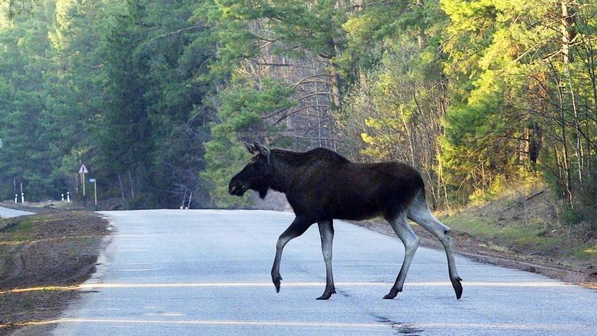 Минтранс будет работать над мерами против выхода животных на дорогу