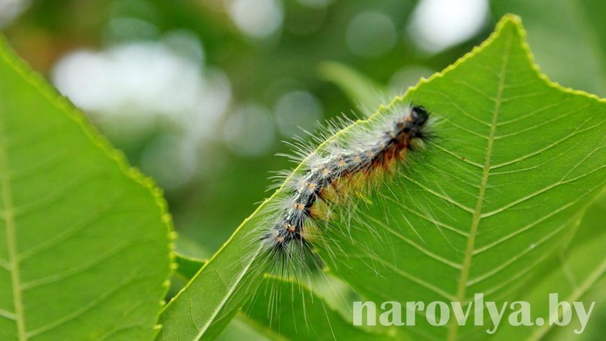 Внимание: бабочка-вредитель!