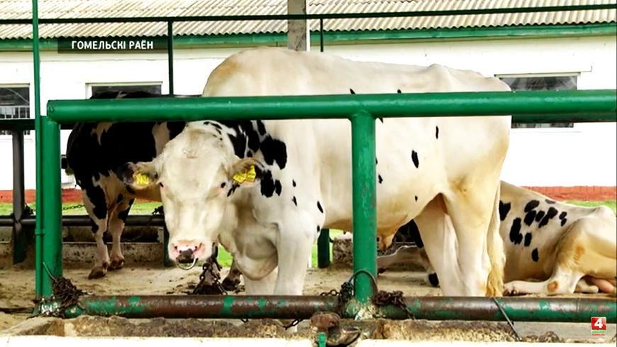 Видео. Эмбриотрансплантация и быки по полторы тонны