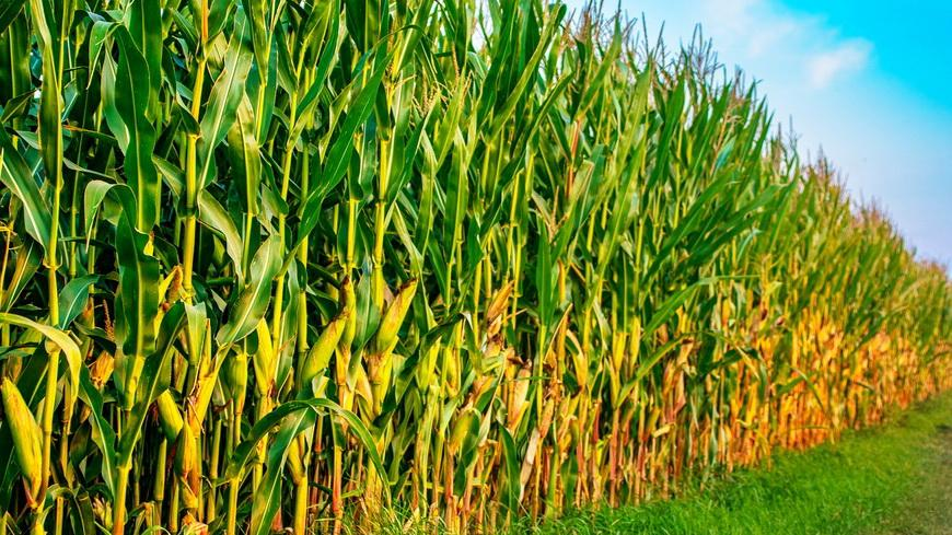 Уборка кукурузы и сев озимых