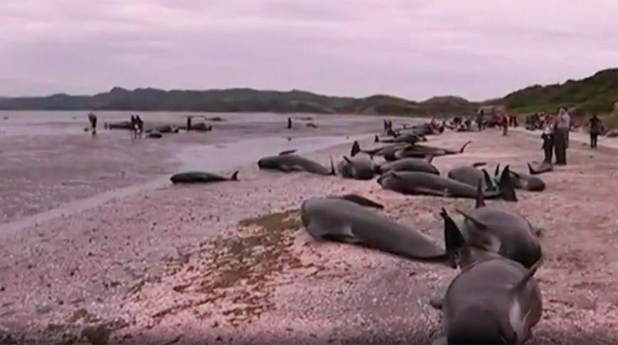 В Новой Зеландии на берег выбросились несколько сотен китов