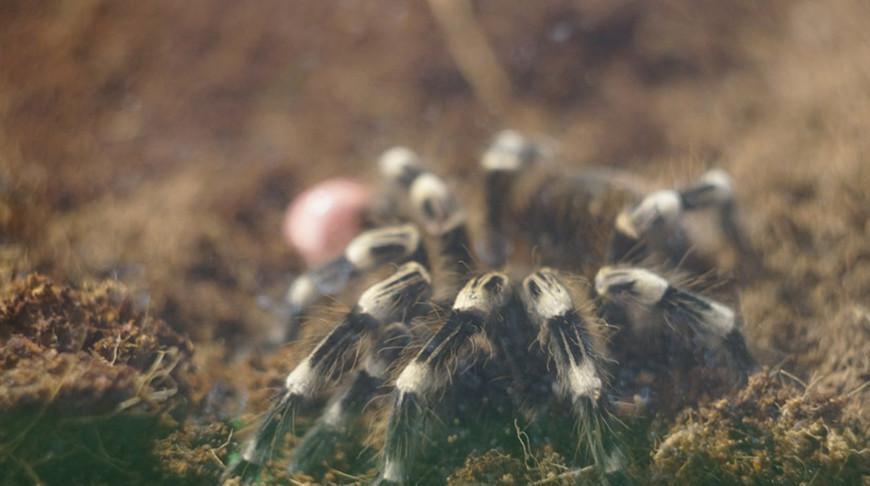 От карликовых до гигантских — выставка пауков откроется в Гомеле