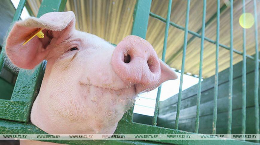 Беларусь ограничила ввоз свинины из регионов России и Украины из-за АЧС