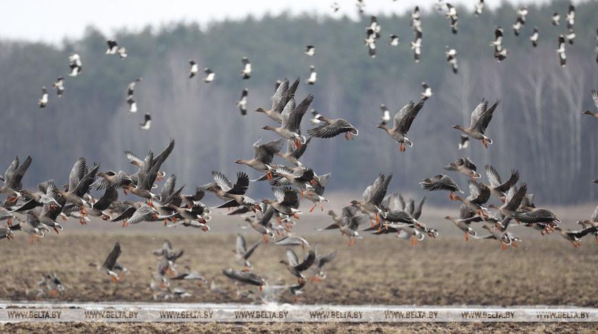 Весенний сезон охоты на пернатую дичь открывается в Беларуси
