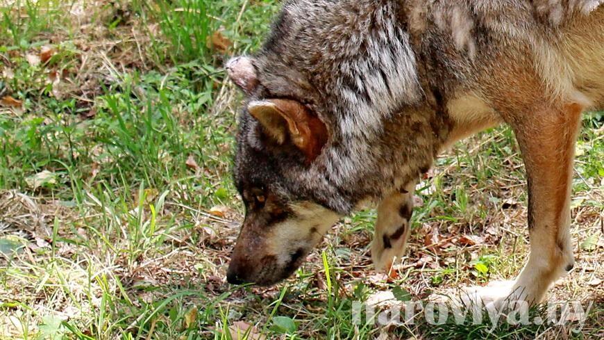 В Пинском районе волк напал на людей