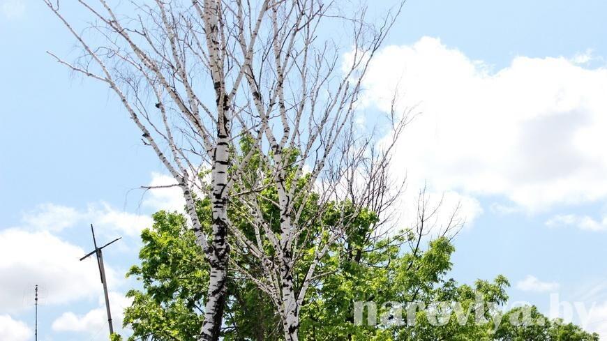 Нужны ли в Наровле мертвые деревья?